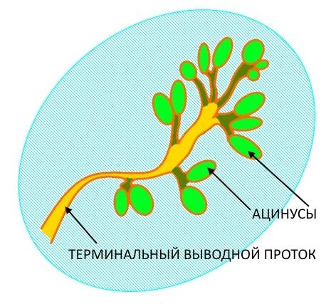 Строение дольки молочной железы, схема