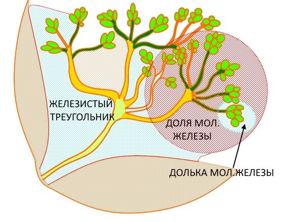 Строение молочной железы, схема